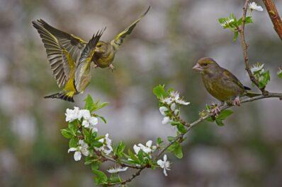 Strichvögel: Begriffserklärung & Liste heimischer Strichvogelarten