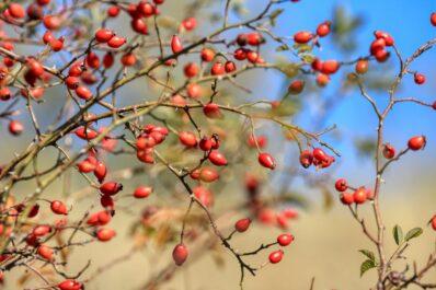 Hagebutten pflanzen: Standort, Vorgehen & richtige Pflege