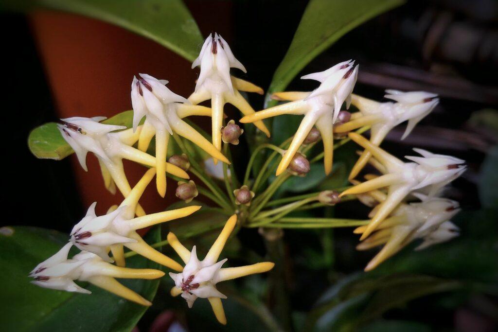 Blüte der Hoya multiflora