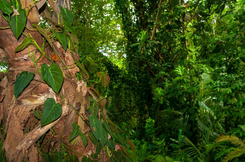 Philodendron scandens im Wald