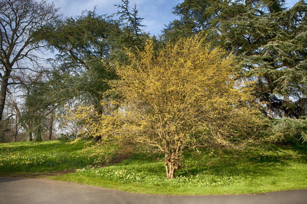 Kornelkirschen-Baum in einem Park