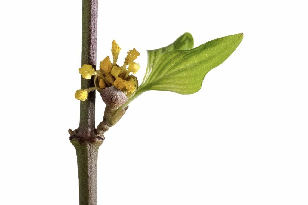 Kornelkirschen-Zweig mit Blüte