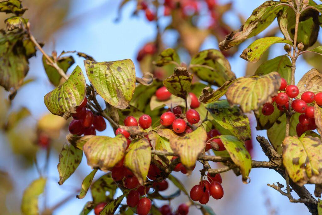Kornelkirschen-Blätter mit Flecken