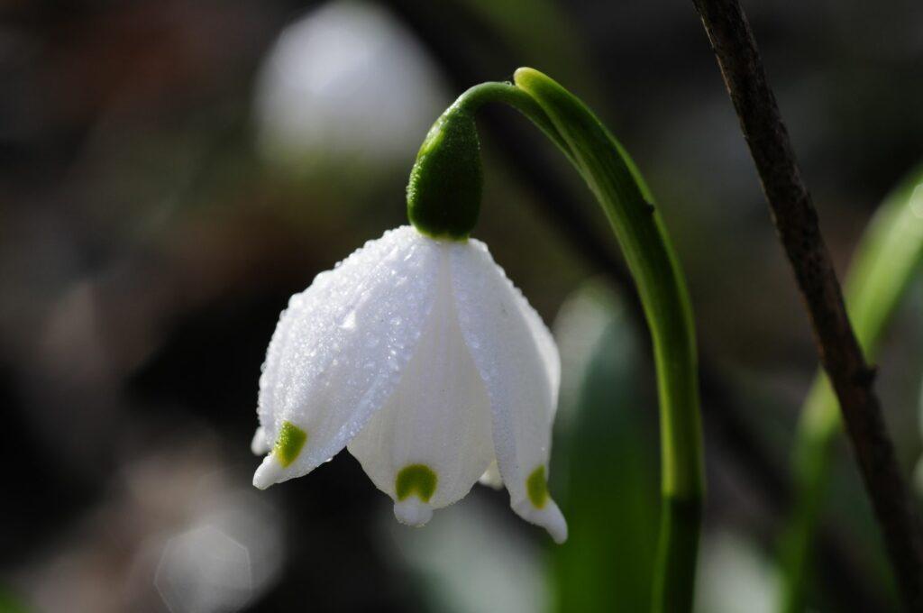 Märzenbecher-Blüte