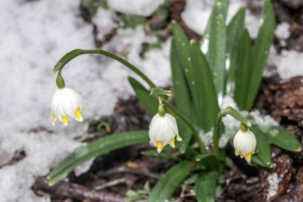 Märzenbecher im Schnee
