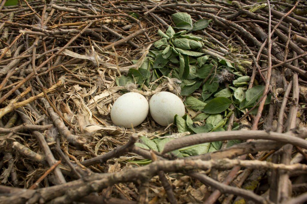 Mäusebussard-Nest mit Eiern