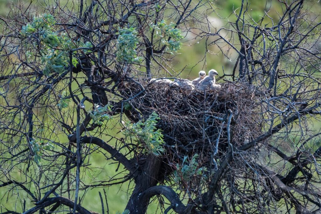 Mäusebussard-Nest