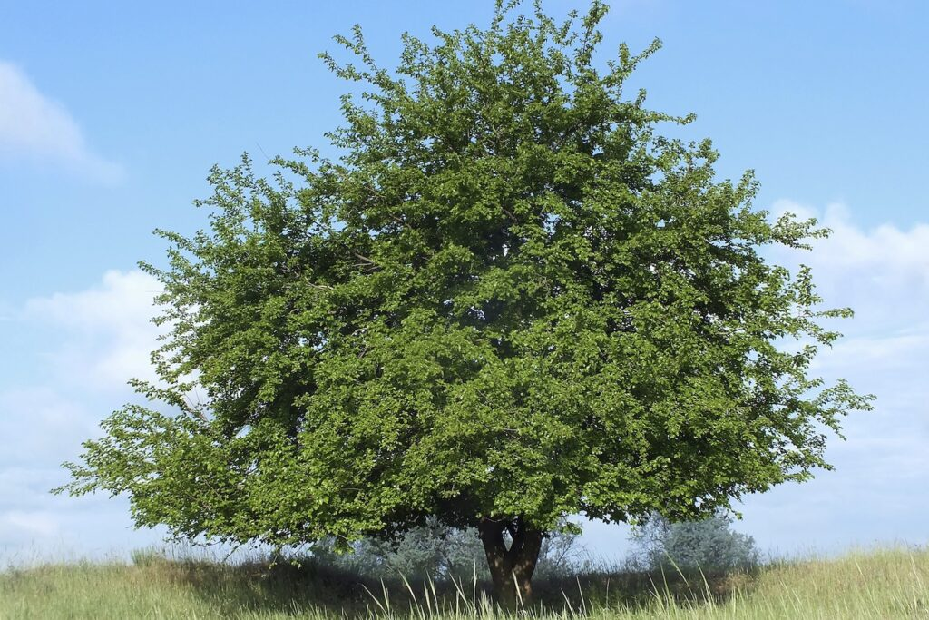 Maulbeere-Baum