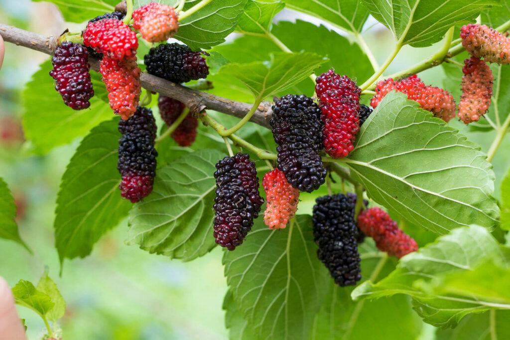 Maulbeerbaum-Früchte