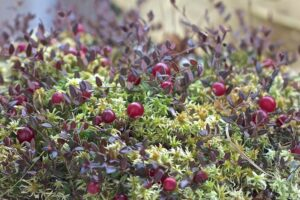 Moosbeere: Anbau & Ernte von Cranberry & Co.