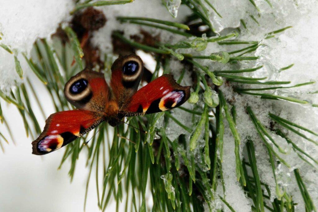 Pfauenauge im Winter