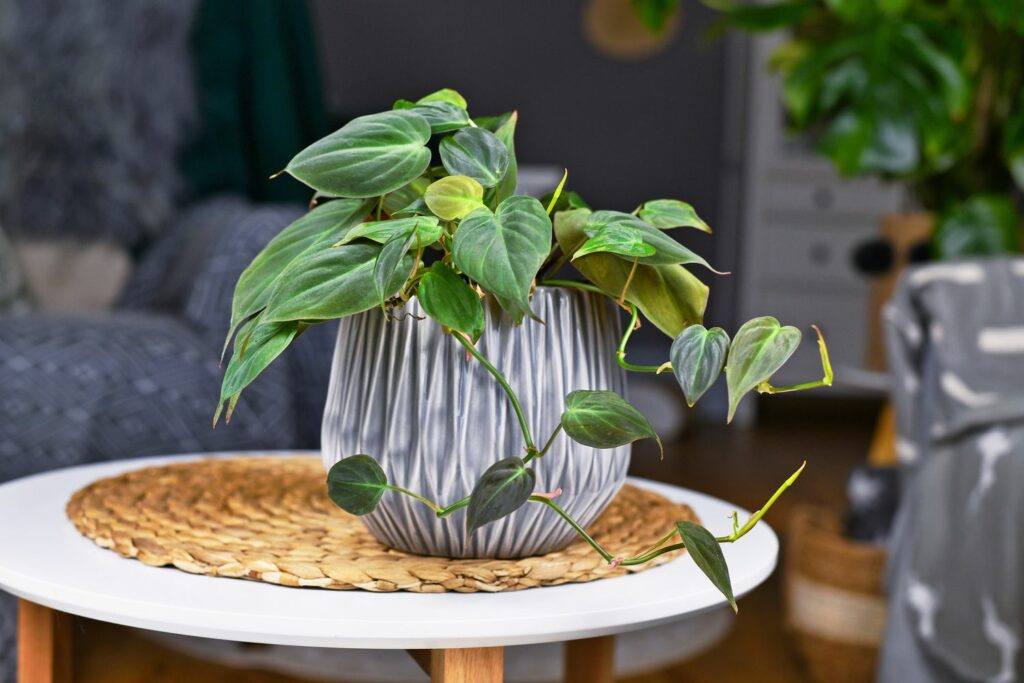 Philodendron scandens im Topf