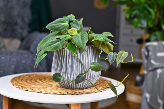 Philodendron scandens: Sorten, Pflege & Vermehrung