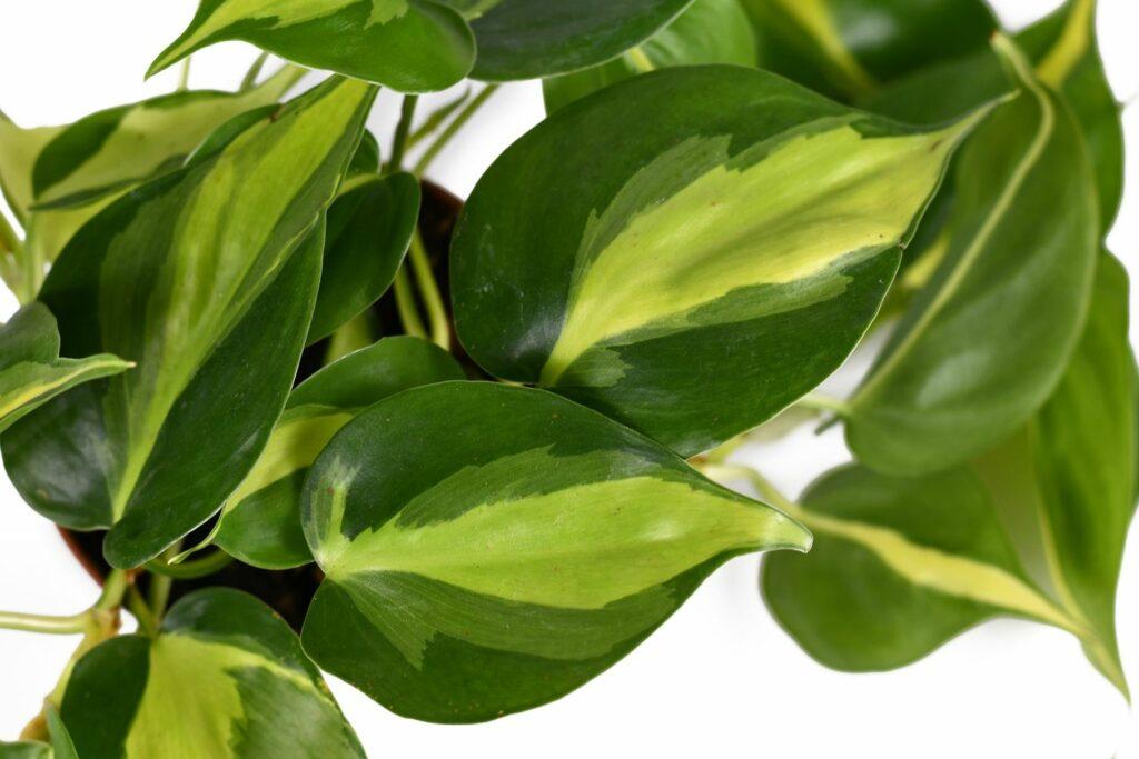 auffällig gemusterte Blätter des Philodendron scandens 'Brasil'