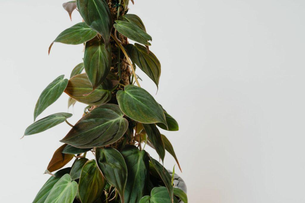 Philodendron scandens mit Rankhilfe