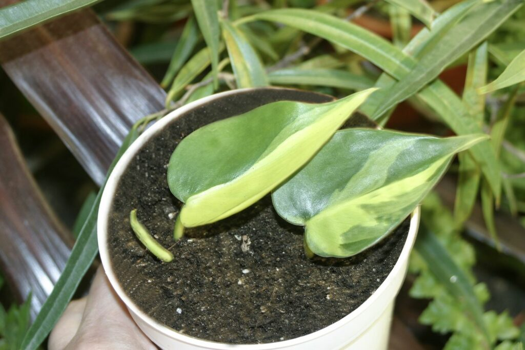 Steckling vom Philodendron scandens