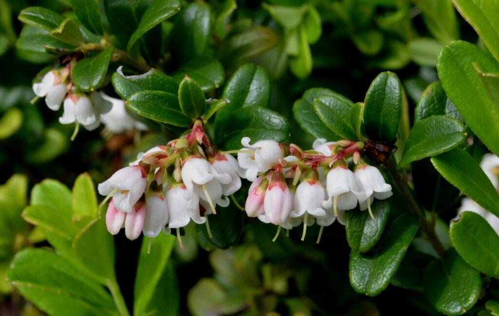 Blüten der Preiselbeere