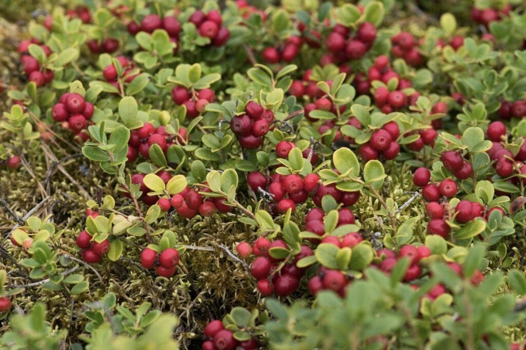 Preiselbeer-Strauch mit reifen Früchten