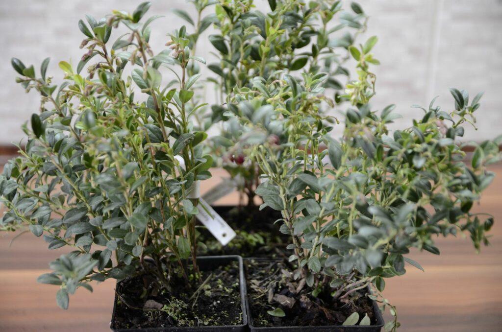 junge Preiselbeer-Pflanze im Topf