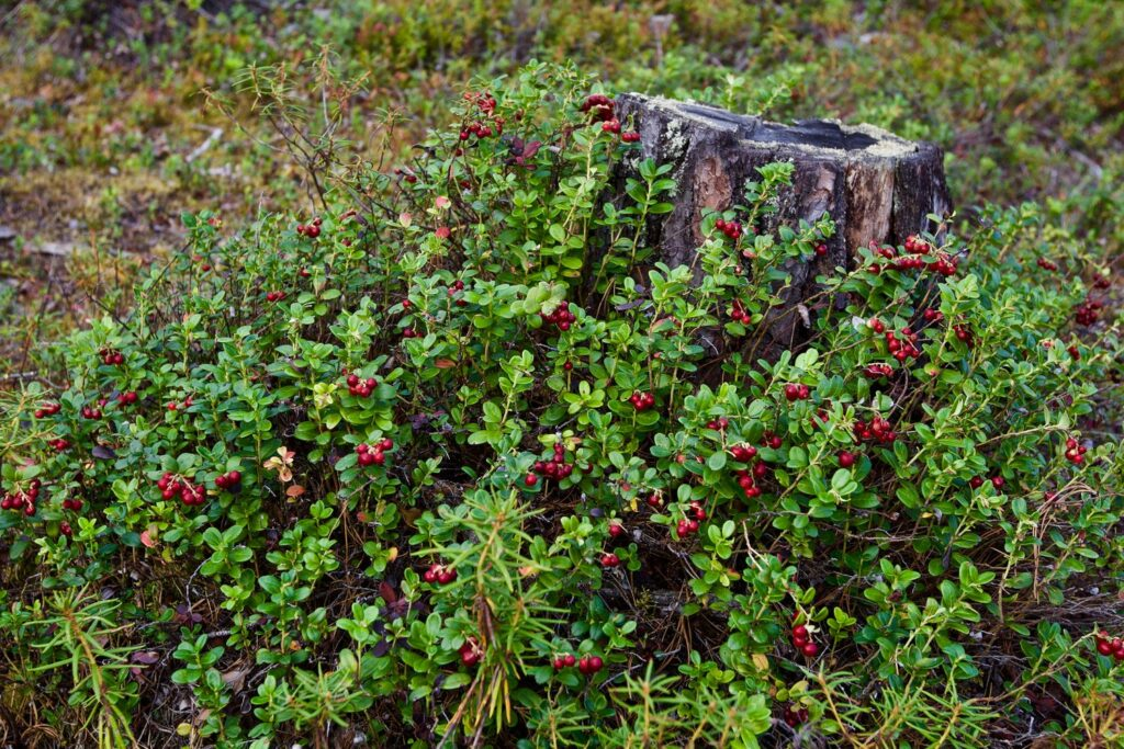 Preiselbeeren-Strauch im Wald