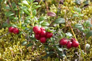 Preiselbeeren: Pflanzen, Pflegen & Sorten