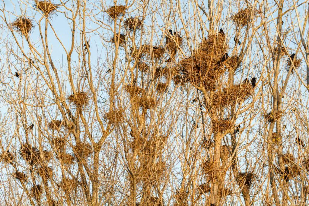 Saatkrähen-Nester in Bäumen