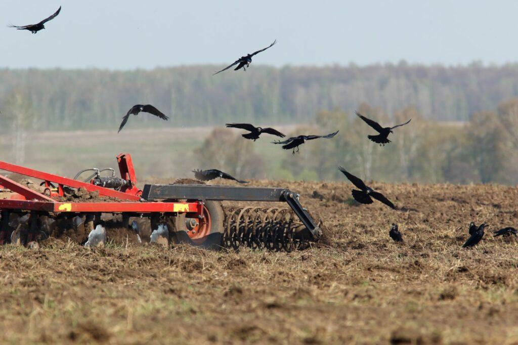 Saatkrähen auf einem Feld