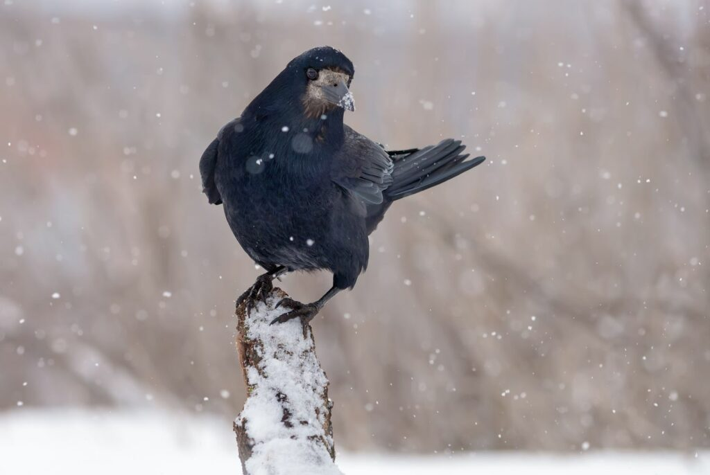 Saatkrähe im Schnee