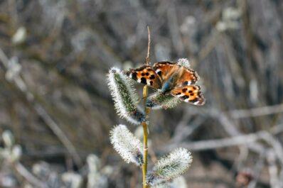 Wie überwintern Schmetterlinge?
