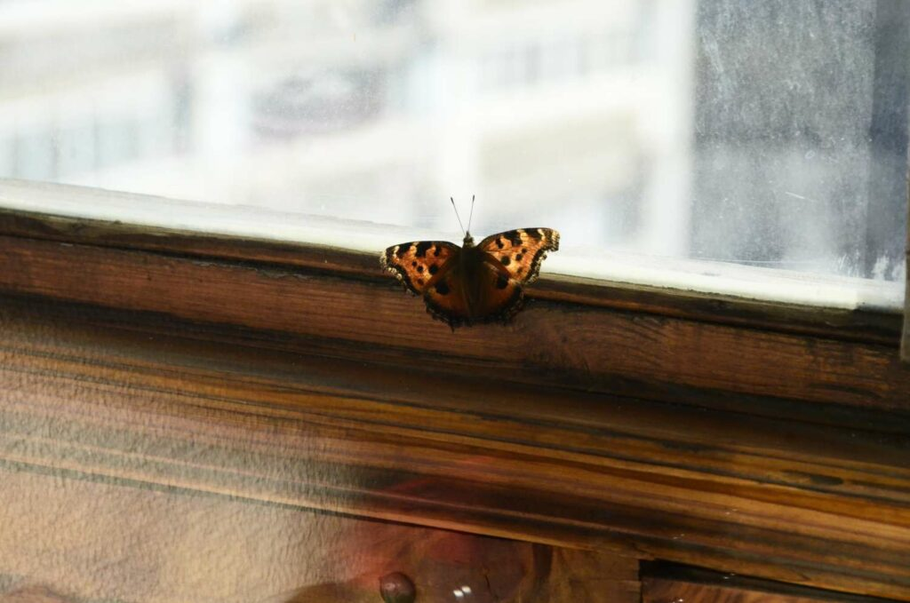 Schmetterling überwintert im Haus