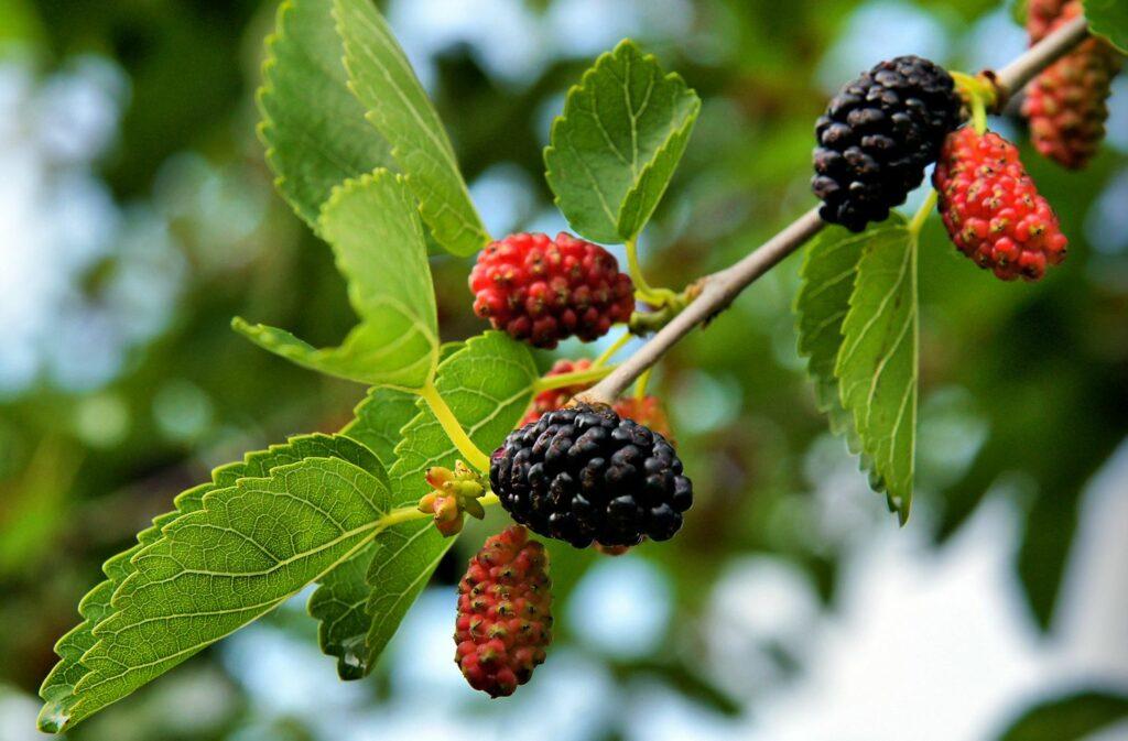 Schwarze Maulbeeren am Baum