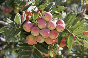 Speierling: Pflanzen & Pflegen des seltenen Baumes