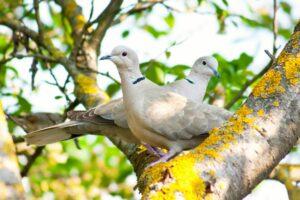 Türkentaube: Jungvögel, Nest, Futter & mehr im Steckbrief