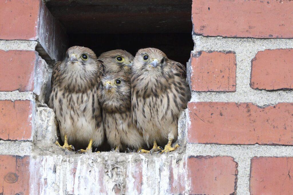 junge Turmfalken in Maueröffnung