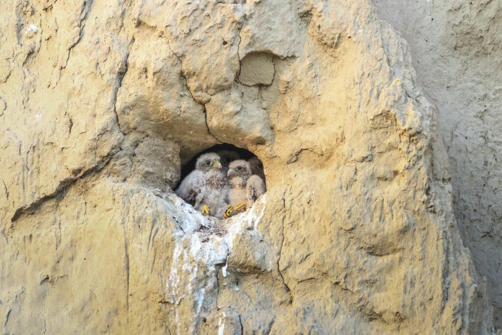 junge Turmfalken im Nest