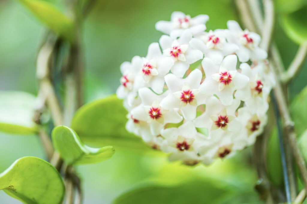 Wachsblumen-Blüte