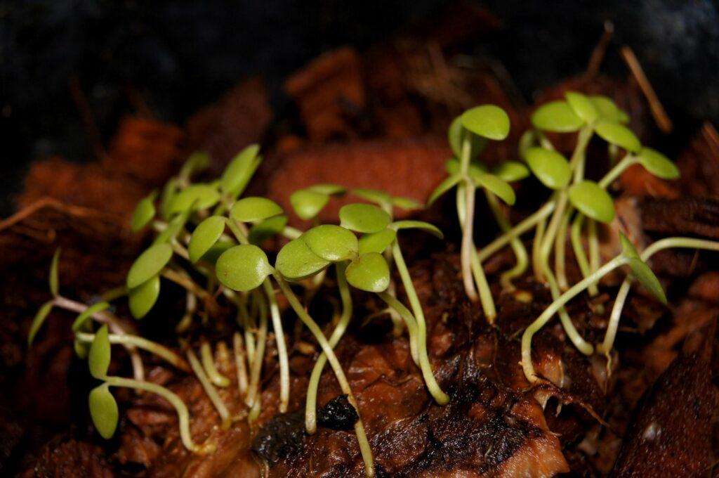 Wachsblumen-Keimlinge