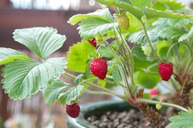 Walderdbeere: Anpflanzen, Pflege & Vermehrung