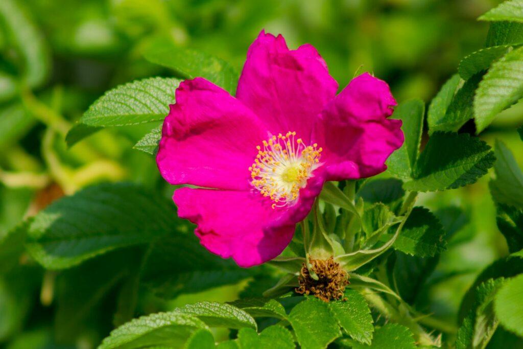 pinke Wildrosen-Blüte