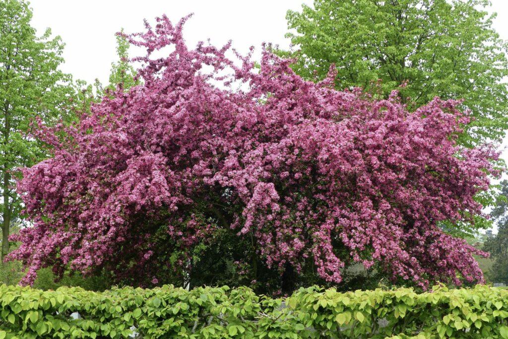Zweigriffeliger Weißdorn mit rosa Blüten