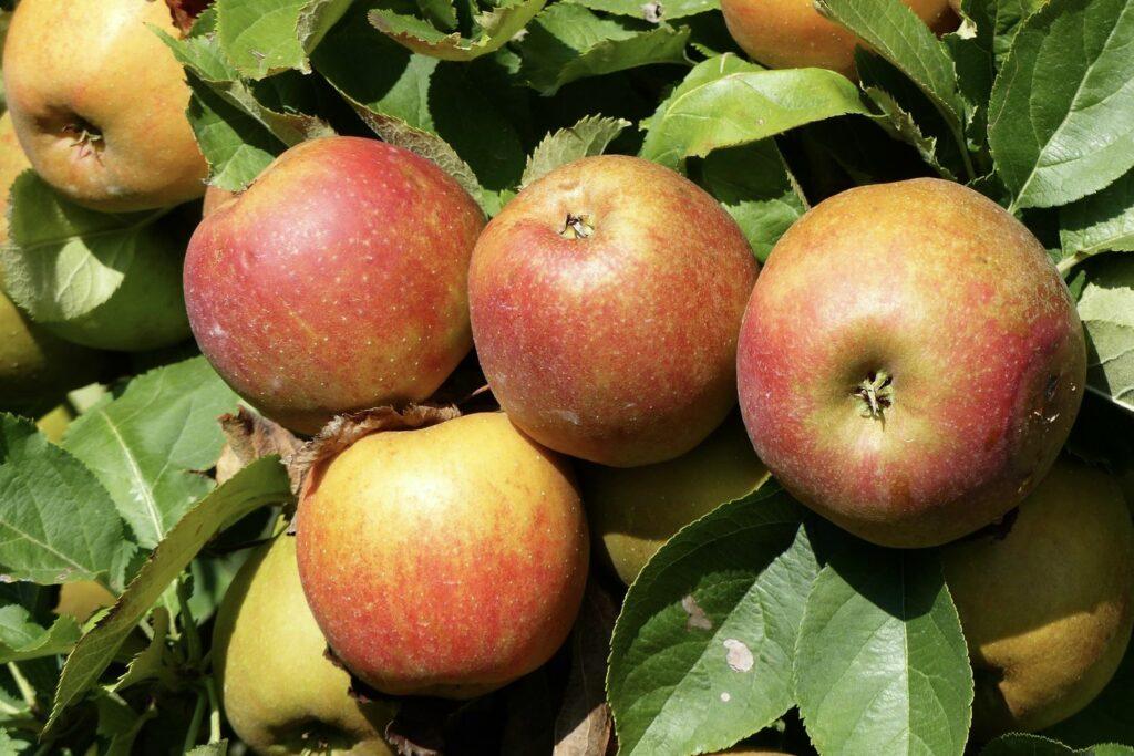 reife Boskoop-Äpfel am Baum