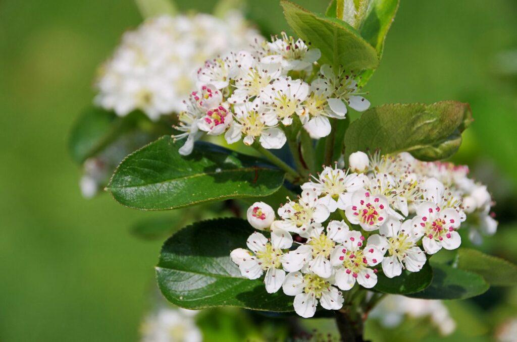 weiße Apfelbeeren-Blüten