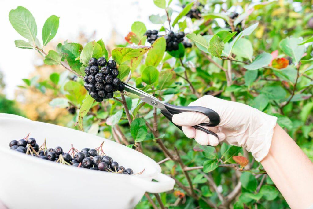 reife Aronia-Beeren werden mit Schere geerntet
