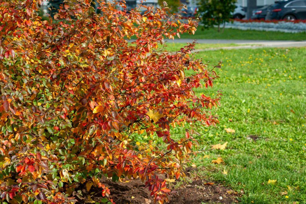 Aronia-Strauch mit roten Blättern