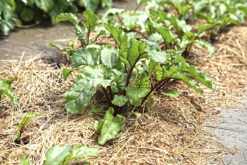 Bete-Pflanzen mit Mulchschicht