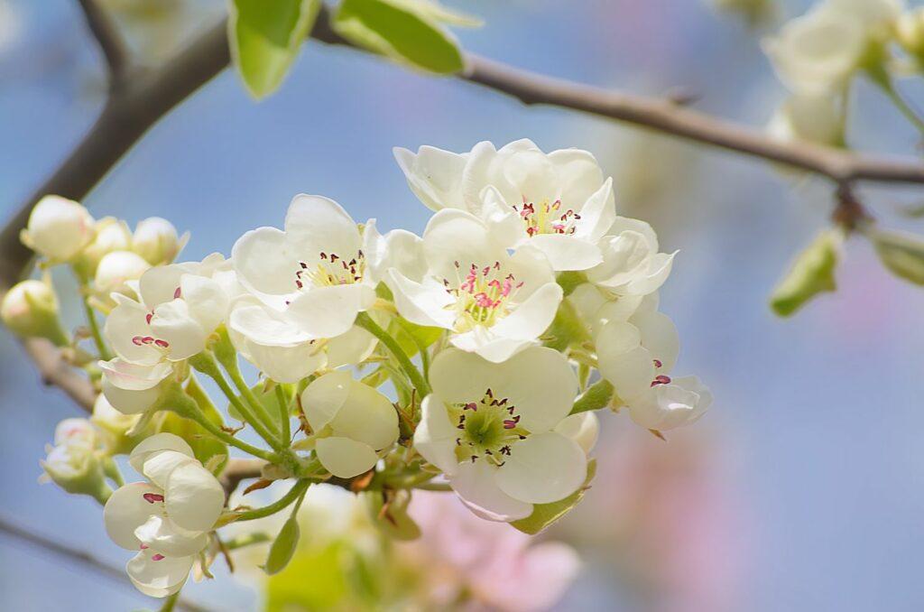 Birnbaum-Blüten
