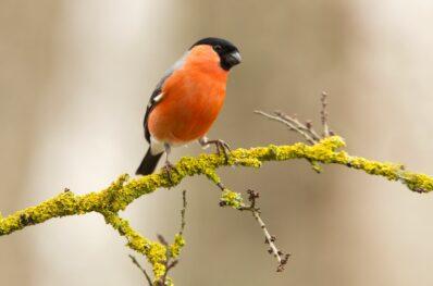 Dompfaff: Weibchen, Nest & Futter des Gimpels
