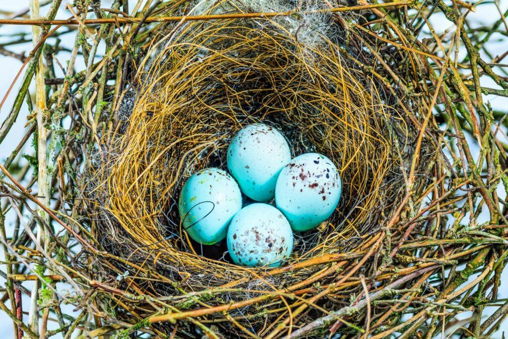 Gimpel Nest mit Eiern