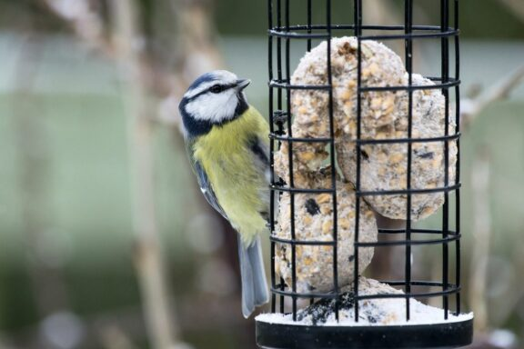 Fettfutter für Vögel: Worauf man achten sollte