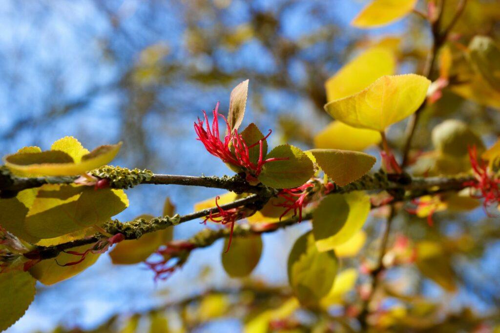 frühblühender Lebkuchenbaum